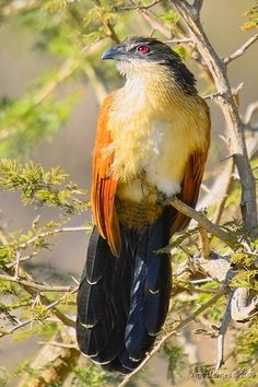 Burchell's Coucal, also known as the Rainbird, is a species of cuckoo from South Africa.  According to popular Southern African lore, this species' distinctive call, which resembles water pouring from a bottle, is said to signal impending rainfall.