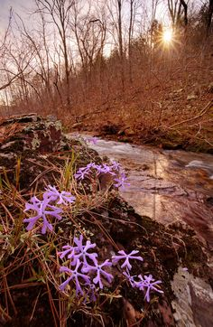 Sand Phlox - Phlox bifida growing on boulders by Shut-in Creek in the Bell Mountain Wilderness located in the Ozarks of Missouri.