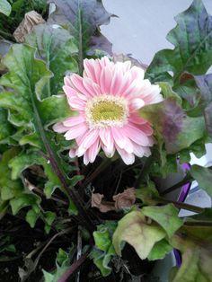 Gerbera Gerbera, Plants, Plant, Planets