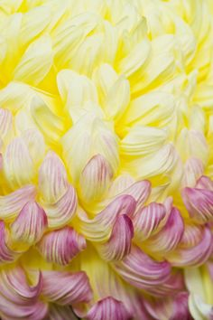 Chrysanthemum sourakuen kobe Japan