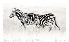 """Stripes Of The Plain"" {Wildlife Collection} by Francoise V Beautiful Creatures, Fine Art Photography, Giclee Print, Art Gallery, Wildlife, African, Artwork, Prints, Stripes"