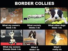 Do you have a border collie? Share your experiences! #dogs #doglovers
