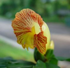 Costus_pictus-flower.jpg (574×558)