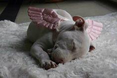 Awww, little #pit #bull angel <3