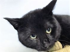 PANTHER -  20505 - - Brooklyn  *** TO BE DESTROYED 02/16/18 ***  Panther was found as a stray in a national park.  PANTHER is a handsome kitty who is nervous and needs a new home! -  Click for info & Current Status: http://nyccats.urgentpodr.org/panther-20505/