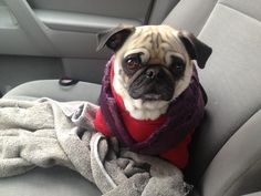 Suspicious pug says: We better be going to the buffet; if we're going to the vet so help me God I will pee all over this entire car.