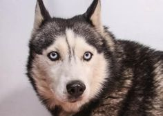 Adopt Denali, a lovely 5 years  1 month Dog available for adoption at Petango.com.  Denali is a Alaskan Husky and is available at the National Mill Dog Rescue in Colorado Springs, Co.  www.milldogrescue.org #adoptdontshop  #puppymilldog   #rescue  #adoptyourfriendtoday
