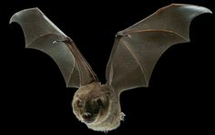 Bats Use Mini Muscles to Tweak Their Wings In Flight, And Drones Could Too   Popular Science