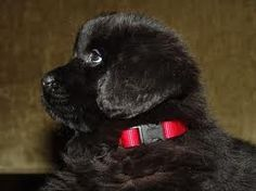 my heart.   newfoundland puppy :)