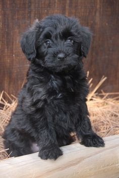 If you are looking for yorkie poodle black wallpaper you've come to the right place. We have 15 images about yorkie poodle black wallpaper. Yorkie Poo Puppies, Yorkie Poodle, Poodle Mix, Cute Puppies, Poodles, Yorkshire Terrier Puppies, Terrier Dogs, Terrier Mix, Softies