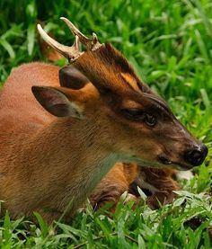 SOUTHERN RED MUNTJAC, you can just make out the amazing fangs that are unique to this species of deer. Plus the surreal 'antler-warmer' way the fur runs up the base of the antler. Rare Animals, Zoo Animals, Funny Animals, Exotic Animals, Deer Species, African Buffalo, Deer Family, Oh Deer, Animals Of The World