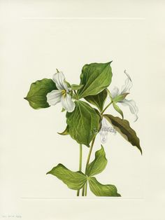 1000 images about snow trillium for florilegium on pinterest line drawings snow and watercolors. Black Bedroom Furniture Sets. Home Design Ideas