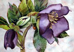 """Hellebore"" by Mary Gibbs Art Watercolor Artwork, Watercolor Illustration, Watercolor Flowers, Botanical Drawings, Botanical Art, Mary Gibbs, D Flowers, Flower Landscape, Fruit Art"