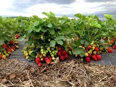 Cultura de Capsuni: sfaturi practice pentru venituri de cel putin 23.000 de euro la hectar | StiriAgricole.ro Strawberry, Fruit, Vegetables, Euro, Gardening, Food, Facebook, Culture, Plant