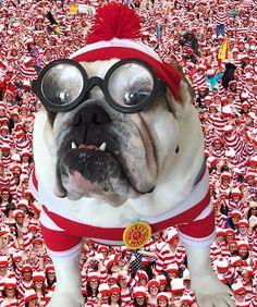 Where's Waldo? English Bulldog