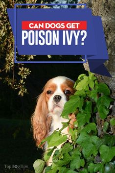 Poison Ivy is a dangerous plant that grows in sunny or partially shaded areas. But can dogs get Poison Ivy? Here's what you must know about the actual dangers of poison ivy on dogs, what can you do to treat it or prevent it in the first place. King Charles Spaniel, Cavalier King Charles, Poison Ivy Pictures, Dog Whisperer, Dog Pee, Dog Training Techniques, Dog Insurance, Pet Care, Best Dogs