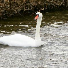 Swan, zwaan