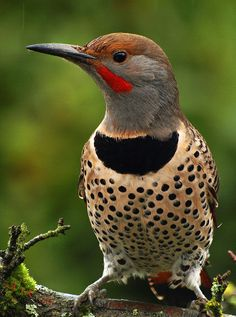 Northern flicker    British Columbia Canada   (Explored) by Barra1man (back and catching Up),