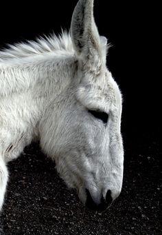 My white donkey