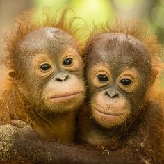 Best Friends forever Tag your best friend below Photography By: Thomas Burns Funny Animal Photos, Animal Pictures, Beautiful Creatures, Animals Beautiful, Baby Orangutan, Mountain Gorilla, Young Animal, Best Friends Forever, Cute Baby Animals