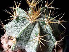 Astrophytum ornatum var. mirbellii