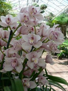 Cymbidium.....Asia and Australia