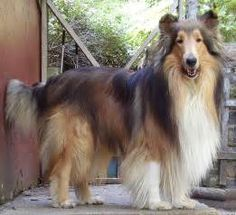Brett, Sable Rough Collie | Flickr - Photo Sharing!