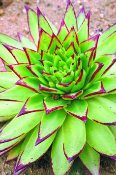 Echeveria Agavoides- love the chartreuse and fuss his combo.