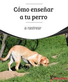 Cómo enseñar a tu perro a rastrear  Rastrear es un instinto innato que tu perro debe mantener despierto. Tú puedes ayudarle mucho a ello. Te damos unos consejos. #rastrear #enseñar #adiestramiento #instinto