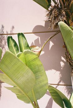 Tropical White Bird of Paradise + Palms + Plants.gets tall Garden Cactus, Cactus Plante, Plants Are Friends, Tropical Vibes, Green Plants, Go Green, Shades Of Green, Houseplants, Palm Trees