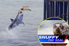 Shark Week Snuffy The Seal!!!! Its a bad week to be a seal! SNUFFY!!!!!!  . Oh goodness that's terrible #sharkweek
