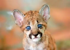 ~~Puma cub by Guillermo Ossa~~