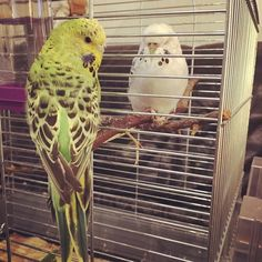 #sleepy #budgie #bird #cute #sweet #germany #herne #animal #wellensittich #goodnight
