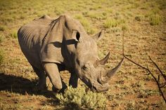 The beautiful Rhino is ever present at the Pilansberg National Park; around the corner from Sun City Resort. Sun City Resort, South Africa, National Parks, Elephant, Corner, Creatures, Birds, Landscape, Sweet