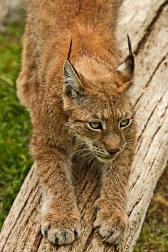 1000 Images About Bobcat Diorama On Pinterest Dioramas