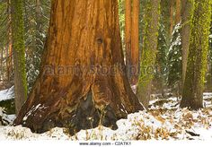 giant-sequoia-trees-with-a-dusting-of-autumn-snow-c2atk1.jpg (640×446)