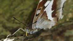 Purple Emperor: The butterfly that feeds on rotting flesh