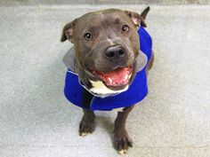 TO BE DESTROYED - 02/28/15 Manhattan Center -P My name is SHADOW. My Animal ID # is A1028138. I am a male gray and white staffordshire mix. The shelter thinks I am about 2 YEARS I came in the shelter as a OWNER SUR on 02/17/2015 from NY 10473, owner surrender reason stated was NEW BABY. https://www.facebook.com/photo.php?fbid=968340039845542