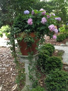 These beautiful, shade-loving shrubs also thrive in pots. Get planting and growing tips, plus find the best hydrangea varieties for pots with help from HGTV Gardens. Hydrangea Potted, Hydrangea Varieties, Hydrangea Colors, Hydrangea Care, Hydrangeas, Hydrangea Flower, Hydrangea Types, Growing Hydrangea, Flower Pots
