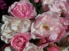 Flower and Vegetable Seeds Seeds, Miniatures, Vegetables, Rose, Flowers, Plants, Angel Wings, Bulbs, Yard