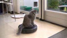 Titran's Q-Bla Djevel dancing the Roomba Norwegian Forest Cat, Cattery, Pilot, Dancing, Dance