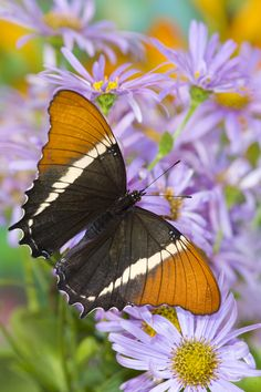 Tropical Butterfly, Siproeta epaphus, on daisy photograph by:  Darrell Gulin