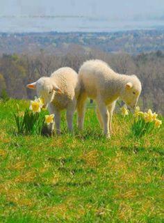 15 Awesome and Inspiring Farm Life - meowlogy Farm Animals, Animals And Pets, Cute Animals, Sheep And Lamb, Farm Life, Animal Photography, Animal Kingdom, Animals Beautiful, Pet Birds