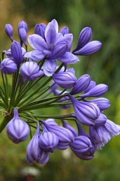 Agapanthus praecox 'Flore Pleno