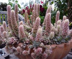 Full size picture of Dunce's Cap, Chinese Dunce Cap (Orostachys iwarenge)