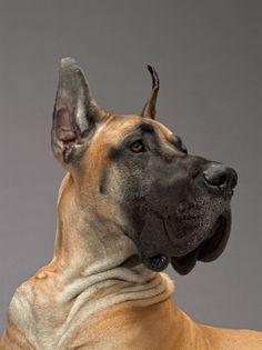 Great Dane Baby Dogs, Pet Dogs, Dog Cat, Doggies, Beautiful Dogs, Animals Beautiful, Cute Animals, Great Dane Dogs, I Love Dogs