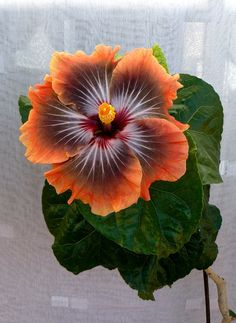 "Hibiscus ""Taiwan Dark King"" Mais"