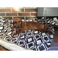 5 month old Dachshund Puppy for sale Dapple Dachshund Puppy, Dachshund Puppies For Sale, Baby Dachshund, Funny Dachshund, Sleeping Puppies, Sausage Dogs, Puppy Names, 5 Month Olds, Puppy Clothes