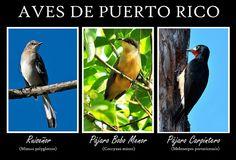 Aves de Puerto Rico by Israel Rivera, via Flickr