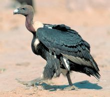 White-rumped Vulture - Wikipedia, the free encyclopedia